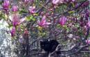 Весна, пора цветения... и котов :-) (На фото мой кот на соседской магнолии) :-)