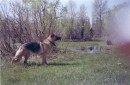 Моя собачка(кто не знает,немецкая овчарка).Квинуля зовут=)