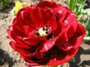 Такой мохнатый тюльпан я видела в первый раз :)