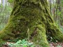 мохнатое дерево