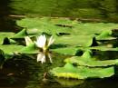 Панский пруд, кувшинка