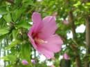 моё любимое крымское чудо........помню, что роза, но какая забыла