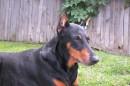 Такой была, моя собака, Дженифер. Ей было почти 15 лет.