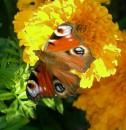 Осенняя бабочка)))
