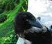 Изумленная ворона
