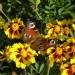 ...Простые, но какие милые цветы - Чернобривцы - этот кустик растет у меня во дворе, у самого крыльца...