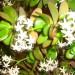 соцветия денежного дерева